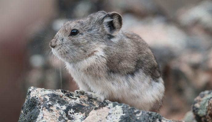 A collared pika standing on the rocks in Denali National Park