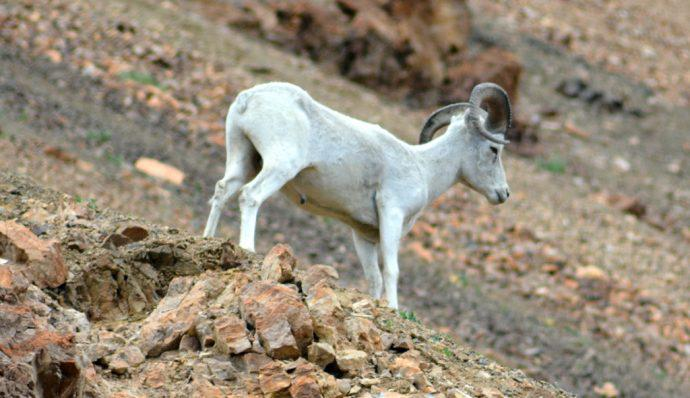 A Dall sheep on a mountainside in Denali National Park