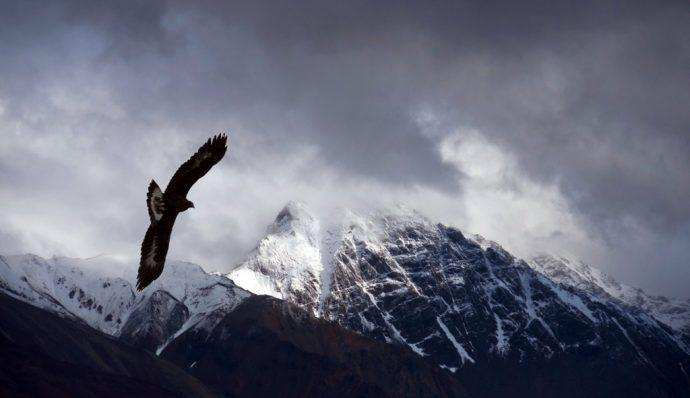 A golden eagle flying high above Denali in Denali National Park