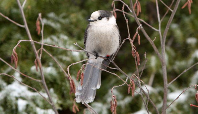A gray jay sitting in a tree in Denali National Park