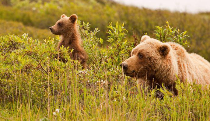 A mother grizzly bear and her cub in Denali National Park