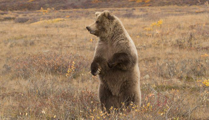 A grizzly bear standing in Denali National Park