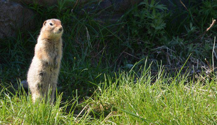 A ground squirrel standing up in Denali National Park