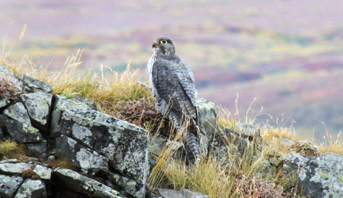 A gyrfalcon resting on rocks in Denali National Park