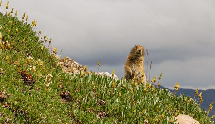 A marmot standing on a hill in Denali National Park