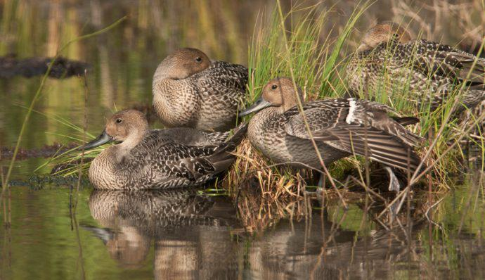 Northern pintail ducks in the water in Denali National Park