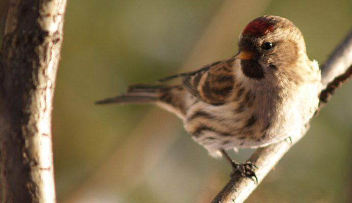 A common redpoll in Denali National Park