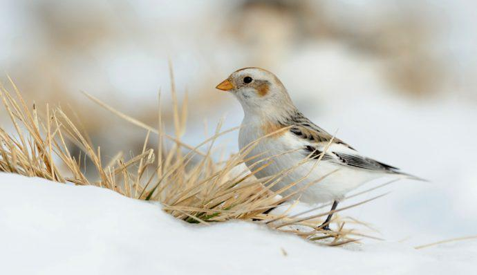 A snow bunting on the snow near some dried grass in Denali National Park
