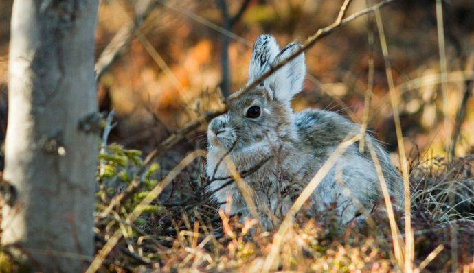 A snowshoe hare hiding behind the brush in Denali National Park