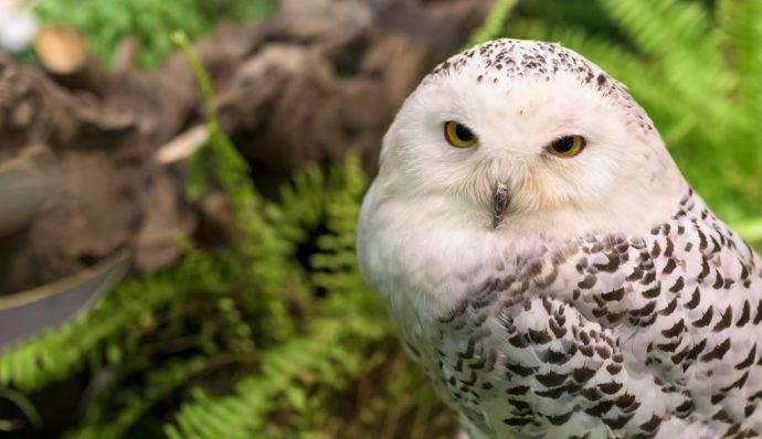 A snowy owl looking at the camera in Denali National Park