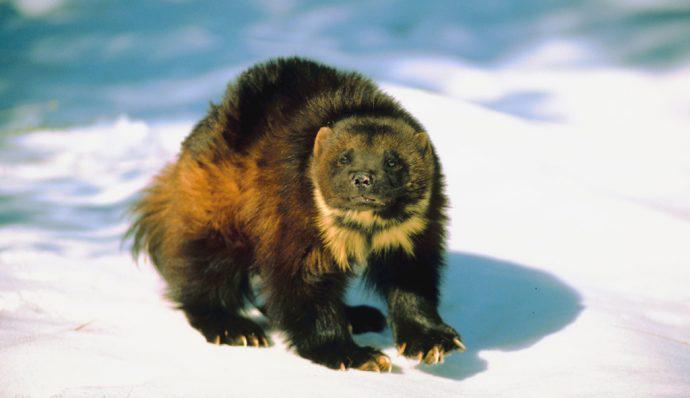A wolverine standing on the snow in Denali National Park
